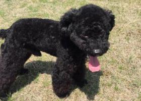 寻狗启示,常州市清潭菜场蒋家村酬谢三千元寻找黑色泰迪,它是一只非常可爱的宠物狗狗,希望它早日回家,不要变成流浪狗。