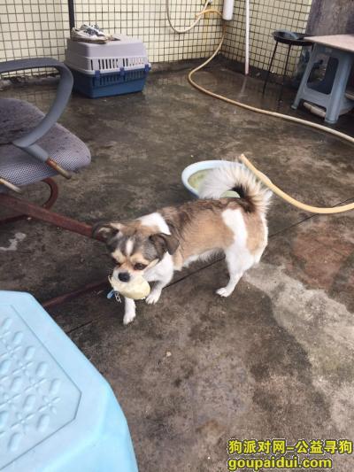 深圳找狗,寻找狗狗贝贝回家-悬赏1000,它是一只非常可爱的宠物狗狗,希望它早日回家,不要变成流浪狗。