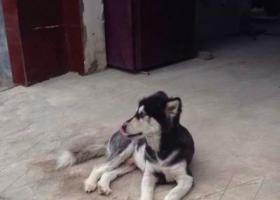 寻狗启示,寻狗启示2岁阿拉斯加   刚剃完毛,它是一只非常可爱的宠物狗狗,希望它早日回家,不要变成流浪狗。