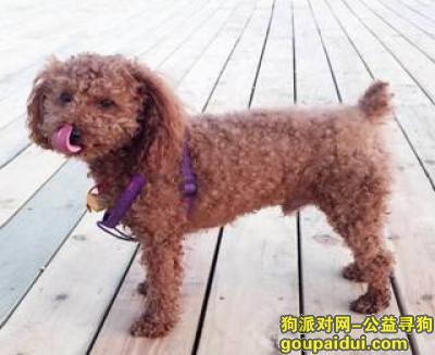 【巢湖找狗】,巢湖棕色泰迪丢失!寻狗!,它是一只非常可爱的宠物狗狗,希望它早日回家,不要变成流浪狗。
