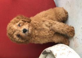 寻狗启示,寻五个月大浅棕毛母泰迪犬,名叫艾米!,它是一只非常可爱的宠物狗狗,希望它早日回家,不要变成流浪狗。