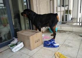 寻狗启示,捡到一只大型犬黑色,母狗,屁股有快斑,它是一只非常可爱的宠物狗狗,希望它早日回家,不要变成流浪狗。