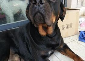 寻狗启示,捡到一只黑色的大型犬,母的,屁股有块斑,它是一只非常可爱的宠物狗狗,希望它早日回家,不要变成流浪狗。