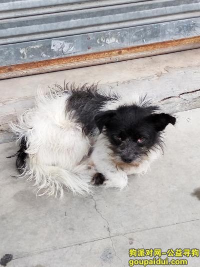 珠海寻狗主人,珠海香洲区人民西路,康城苑,它是一只非常可爱的宠物狗狗,希望它早日回家,不要变成流浪狗。