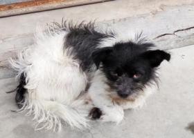 寻狗启示,珠海香洲区人民西路,康城苑,它是一只非常可爱的宠物狗狗,希望它早日回家,不要变成流浪狗。