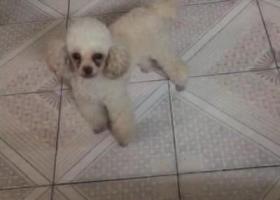 寻找爱犬一只白色小泰迪