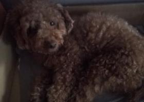 寻狗启示,本人于6月11日在大渡口捡得成年泰迪妹妹一只,它是一只非常可爱的宠物狗狗,希望它早日回家,不要变成流浪狗。