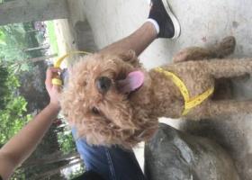寻狗启示,7.16晚上捡到一只贵宾泰迪犬,它是一只非常可爱的宠物狗狗,希望它早日回家,不要变成流浪狗。