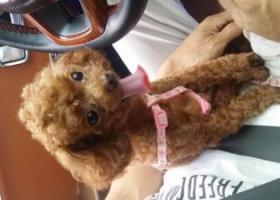 寻狗启示,山东枣庄找狗  泰迪 6月17,它是一只非常可爱的宠物狗狗,希望它早日回家,不要变成流浪狗。
