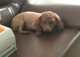寻狗启示,寻狗启示   本人有一只小泰迪狗狗  女生 丢失的时候身毛被剪过   只 留有头上的毛,它是一只非常可爱的宠物狗狗,希望它早日回家,不要变成流浪狗。