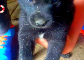 寻狗启示,狗狗名字小天,一只快三个月大的小母狗,边牧串串。,它是一只非常可爱的宠物狗狗,希望它早日回家,不要变成流浪狗。