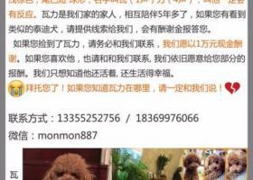寻狗启示,山东省淄博市淄川城一小区酬谢一万元寻找泰迪,它是一只非常可爱的宠物狗狗,希望它早日回家,不要变成流浪狗。