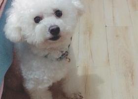 寻狗启示,家天下生活广场光大银行附近丢失比熊狗狗,它是一只非常可爱的宠物狗狗,希望它早日回家,不要变成流浪狗。