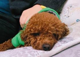 寻狗启示,棕色泰迪,名字是多多,它是一只非常可爱的宠物狗狗,希望它早日回家,不要变成流浪狗。