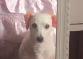 找狗一条剃了毛白色的比熊,耳朵染了黄色,尾巴有轻微的皮肤病。