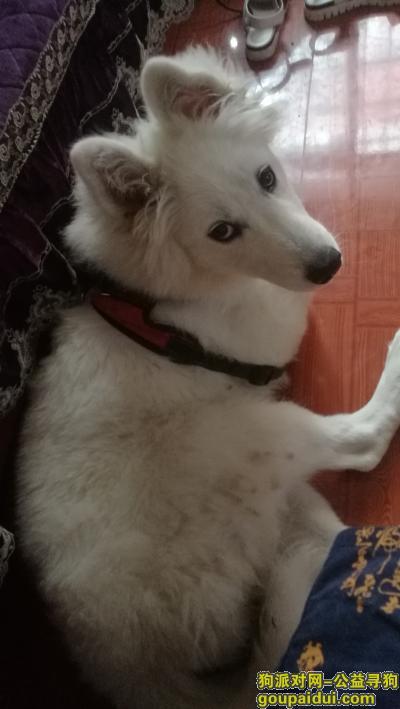 寻狗启示,5个月母萨摩耶6月25日中午走失,它是一只非常可爱的宠物狗狗,希望它早日回家,不要变成流浪狗。