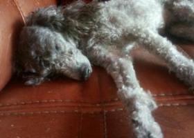 寻狗启示,本人家中三岁灰色泰迪于6月25日上午九点半至十点之间,它是一只非常可爱的宠物狗狗,希望它早日回家,不要变成流浪狗。
