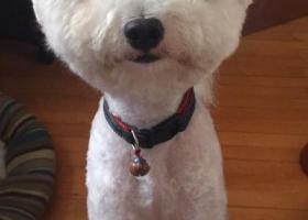 寻狗启示,2017年6月25日下午白色比熊在长街走失,它是一只非常可爱的宠物狗狗,希望它早日回家,不要变成流浪狗。