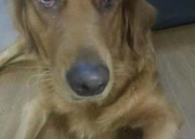 寻狗启示,2岁怀孕金毛被盗,寻狗启示,它是一只非常可爱的宠物狗狗,希望它早日回家,不要变成流浪狗。