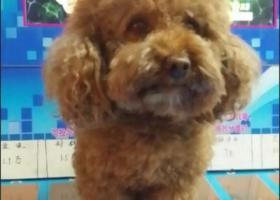 寻狗启示,八岁泰迪狗6月25日14时30分左右在新飞大道与建设路交叉口附近走丢,它是一只非常可爱的宠物狗狗,希望它早日回家,不要变成流浪狗。