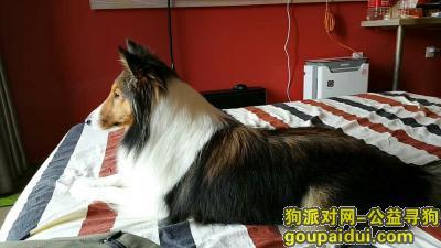 咸宁丢狗,喜乐蒂牧羊犬赤壁客运站走失,酬金一千元,它是一只非常可爱的宠物狗狗,希望它早日回家,不要变成流浪狗。
