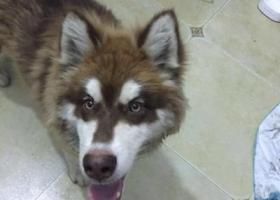 寻狗启示,捡到阿拉斯加雪橇犬,它是一只非常可爱的宠物狗狗,希望它早日回家,不要变成流浪狗。