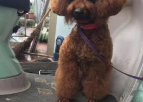 寻狗启示,慈溪崇寿棕色泰迪丢失,希望好心人看一看,它是一只非常可爱的宠物狗狗,希望它早日回家,不要变成流浪狗。