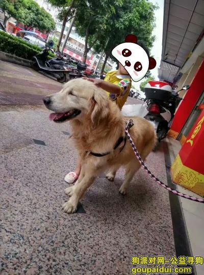 河源找狗,寻爱犬金毛狗狗,17年6月30中午河源红星西路附近走丢,它是一只非常可爱的宠物狗狗,希望它早日回家,不要变成流浪狗。