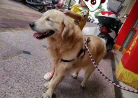 寻狗启示,寻爱犬金毛狗狗,17年6月30中午河源红星西路附近走丢,它是一只非常可爱的宠物狗狗,希望它早日回家,不要变成流浪狗。