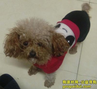 """,寻找小型泰迪犬""""毛毛"""",它是一只非常可爱的宠物狗狗,希望它早日回家,不要变成流浪狗。"""