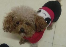 """寻狗启示,寻找小型泰迪犬""""毛毛"""",它是一只非常可爱的宠物狗狗,希望它早日回家,不要变成流浪狗。"""