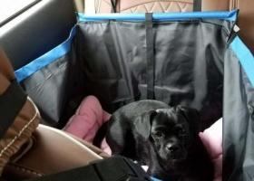 寻狗启示,义乌寻狗有偿全身黑短毛短腿身子长脚掌大前脚外八酷似拉布拉多,它是一只非常可爱的宠物狗狗,希望它早日回家,不要变成流浪狗。