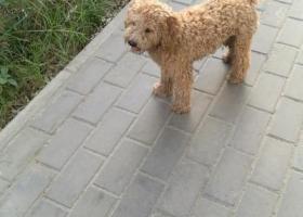 寻狗启示,西安东郊纺织城捡到一只公泰迪,它是一只非常可爱的宠物狗狗,希望它早日回家,不要变成流浪狗。