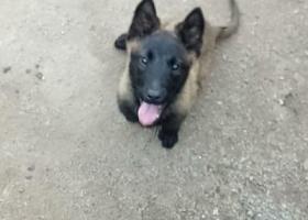 寻狗启示,临沂市河东区九曲优庄丢失马犬,它是一只非常可爱的宠物狗狗,希望它早日回家,不要变成流浪狗。