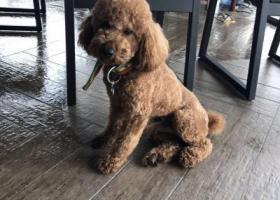 寻狗启示,聊城市名人岛寻泰迪狗宝宝,它是一只非常可爱的宠物狗狗,希望它早日回家,不要变成流浪狗。