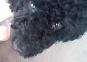 寻狗启示,寻找丢失两岁黑色雄性泰迪,它是一只非常可爱的宠物狗狗,希望它早日回家,不要变成流浪狗。