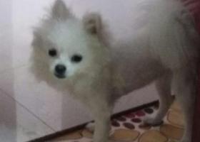 寻狗启示,寻找白色小型博美犬,大约五斤左右。耳朵微微发黄,毛发最近刚被剃了,头部尾部毛长身子毛被剃的特别短。2017年7月15日19点十分左右在东森超市门口被人抱走!,它是一只非常可爱的宠物狗狗,希望它早日回家,不要变成流浪狗。