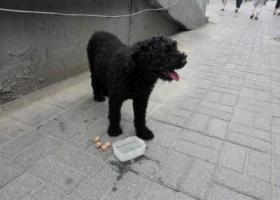 寻狗启示,已经找到主人    黑色泰迪公狗10岁左右15斤,它是一只非常可爱的宠物狗狗,希望它早日回家,不要变成流浪狗。