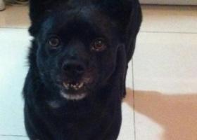 寻找6岁黑色公狗 北京通州和周边地区