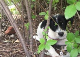 寻狗启示,北京通州果园地铁站附近一个黑白花小狗!,它是一只非常可爱的宠物狗狗,希望它早日回家,不要变成流浪狗。