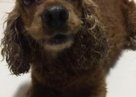 寻狗启示,捡到一只美卡,男狗,主人在哪里,它是一只非常可爱的宠物狗狗,希望它早日回家,不要变成流浪狗。