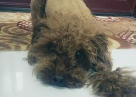 泰迪狗丢失寻找宝贝狗
