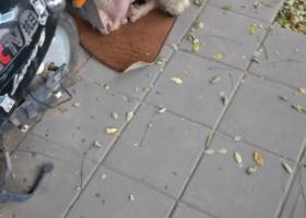 寻狗启示,北京市丰台区南苑路和义农场,它是一只非常可爱的宠物狗狗,希望它早日回家,不要变成流浪狗。