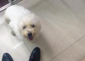 寻狗启示,一只白色的小狗,身材略显胖,它是一只非常可爱的宠物狗狗,希望它早日回家,不要变成流浪狗。