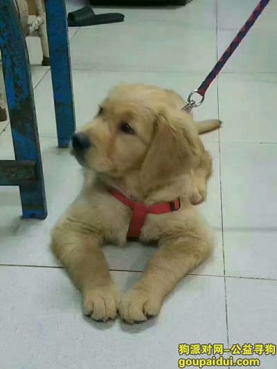,一只半大的金毛,是我美术老师的爱犬。,它是一只非常可爱的宠物狗狗,希望它早日回家,不要变成流浪狗。