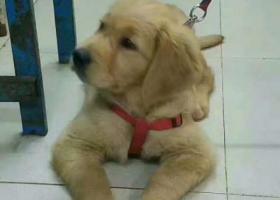 一只半大的金毛,是我美术老师的爱犬。