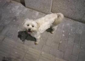 闵行区颛桥镇走失串串小白狗一条,背上剃毛留了心型。