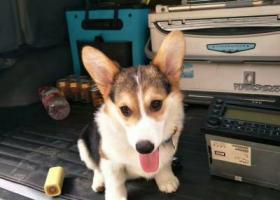 寻狗启示,重金寻狗三色柯基奖金5000元,它是一只非常可爱的宠物狗狗,希望它早日回家,不要变成流浪狗。
