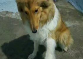 寻狗启示,拜托大家帮忙找一下狗狗,它是一只非常可爱的宠物狗狗,希望它早日回家,不要变成流浪狗。