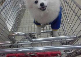 寻狗启示,白色银狐狗在欧亚小镇丢失,它是一只非常可爱的宠物狗狗,希望它早日回家,不要变成流浪狗。